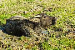 Buffalo in the mud Stock Image