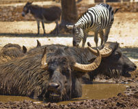 Buffalo in the mud and zebra Stock Photo