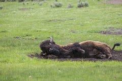 Buffalo in mudbath stock photo