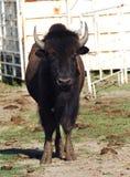 Buffalo with muddy feet Stock Image