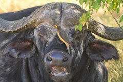 Buffalo in Nakuru Park Stock Photo