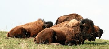 Bison aka Buffalo napping Stock Images