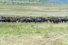 Buffalo stock photography