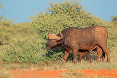 Buffalo in natural habitat Royalty Free Stock Photography