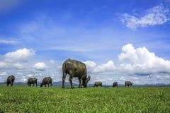Buffalo Natural  sky Stock Images