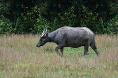 Buffalo nei campi di mattina fotografie stock libere da diritti