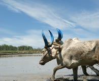 Buffalo nei giacimenti del riso Immagine Stock Libera da Diritti