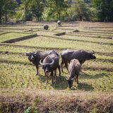 Buffalo nel campo Fotografie Stock Libere da Diritti