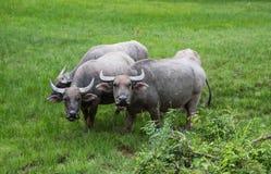 Buffalo nel campo di erba Fotografia Stock Libera da Diritti