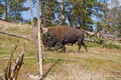 Buffalo nel legno fotografia stock