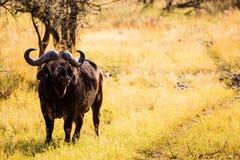Buffalo nel Serengeti Immagini Stock