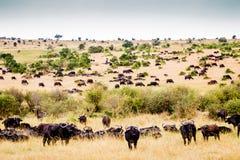 Buffalo nel Serengeti Immagini Stock Libere da Diritti