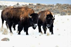 Buffalo nella neve Immagine Stock Libera da Diritti