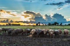 Buffalo nella risaia di tramonto di alba del campo Immagine Stock Libera da Diritti