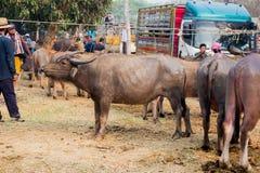 Buffalo nella Buffalo tailandese dell'azienda agricola nella Buffalo del fondo dell'azienda agricola in Tailandia fotografia stock libera da diritti