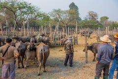 Buffalo nella Buffalo tailandese dell'azienda agricola nella Buffalo del fondo dell'azienda agricola in Tailandia immagine stock libera da diritti