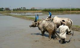 Buffalo nelle risaie, Kerala, India del sud Fotografie Stock