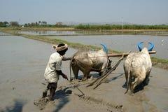 Buffalo nelle risaie, Kerala, India del sud Immagine Stock Libera da Diritti