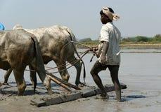 Buffalo nelle risaie, Kerala, India del sud Immagini Stock Libere da Diritti