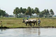 Buffalo nelle risaie, Kerala, India del sud Immagine Stock
