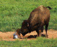 Buffalo with newborn calf Royalty Free Stock Image