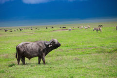 Buffalo in Ngorongoro crater Tanzania Stock Photos