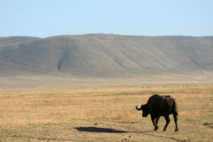 Buffalo - Ngorongoro Crater, Tanzania, Africa Stock Photography