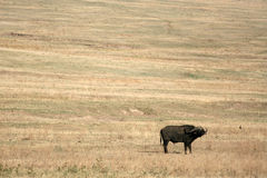 Buffalo - Ngorongoro Crater, Tanzania, Africa Royalty Free Stock Photo
