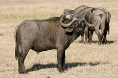 Buffalo - Ngorongoro Crater, Tanzania, Africa royalty free stock images