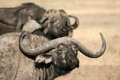 Buffalo - Ngorongoro Crater, Tanzania, Africa Royalty Free Stock Photography
