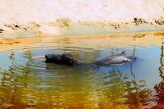 Buffalo noir apprécient l'eau et mâchent le ruminage images libres de droits