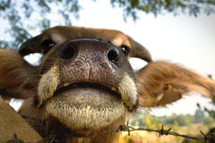 Buffalo nose Royalty Free Stock Image