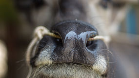 Buffalo nose. Textures and Background of Buffalo nose  in Thailand Stock Image