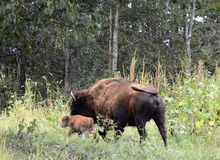 Buffalo nouveau-né Photo libre de droits