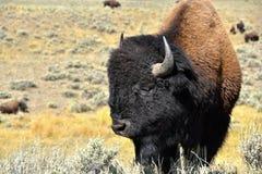 Buffalo o bisonte immagine stock libera da diritti