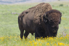 Buffalo on oklahoman prairie Royalty Free Stock Photos