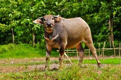 Buffalo. One Buffalo on the farm Stock Photos