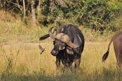 Buffalo and Ox-Pecker. Buffalo with Oxpecker pecking at insects stock photography