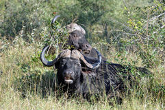 Buffalo and Ox-Pecker. Buffalo with Oxpecker pecking at insects royalty free stock photos