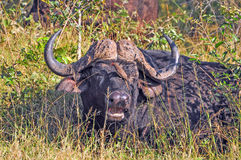Buffalo and Ox-Pecker. Buffalo with Oxpecker pecking at insects stock image