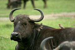 Buffalo and oxpecker Stock Photos