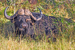 Buffalo and Oxpecker Royalty Free Stock Images