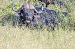 Buffalo and Oxpecker Stock Images