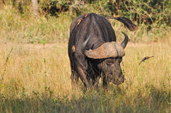 Buffalo and Oxpecker Royalty Free Stock Image