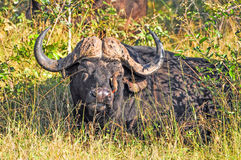 Buffalo and Oxpecker Royalty Free Stock Photo