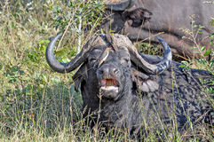 Buffalo and Oxpecker Stock Image