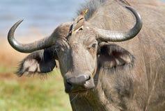 Buffalo with an oxpecker on it's head Stock Photo
