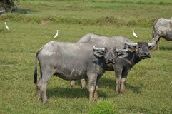 Buffalo in paddle field Stock Photography