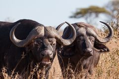 Buffalo pair Royalty Free Stock Photography