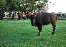 Buffalo in Pasture. Prairie Bison raised on Saskatchewan Farm Stock Photography